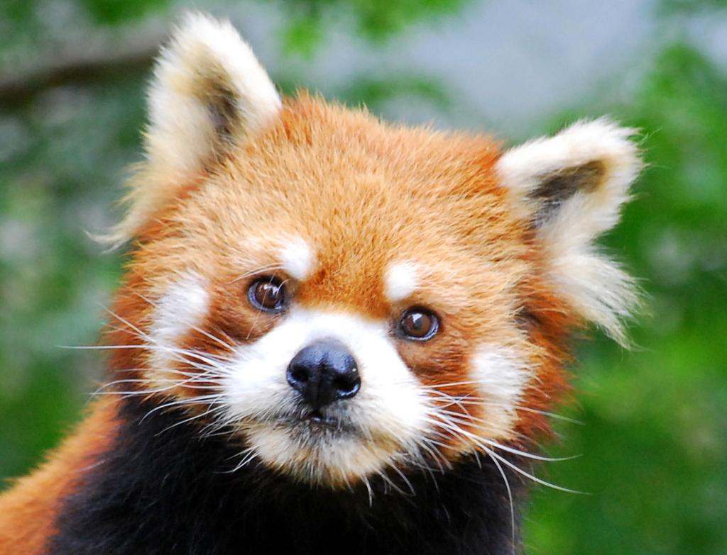 小熊貓的日文 | Ivyの陶花源