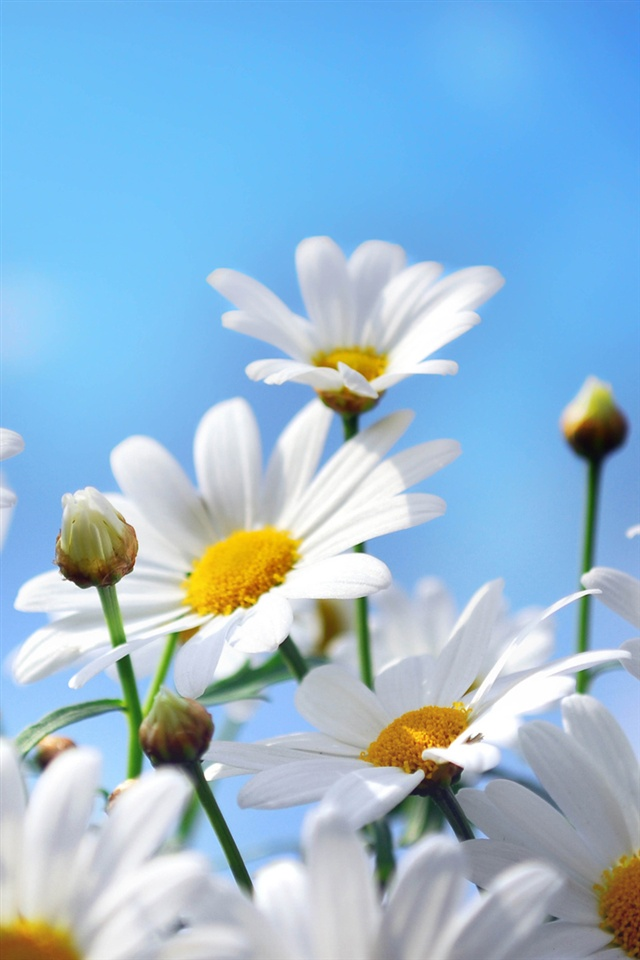 Hd Wallpapers Brands Logos Flowers Photography Daisies Petals Blue Sky Iphone X 8