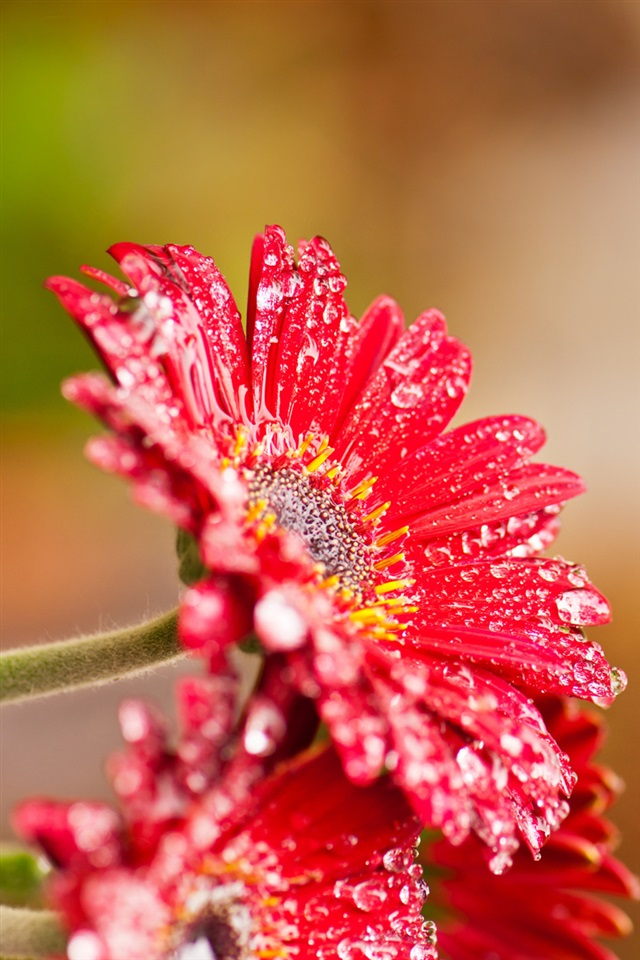 Red gerbera flowers after rain iPhone X 876543GS