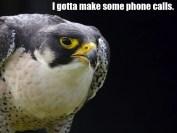 The Perigrine Falcon 10