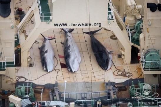 Dead-Minke-Whales-Nisshin-Maru-Deck-0034224-1000w