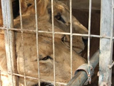 Lions_Gaza