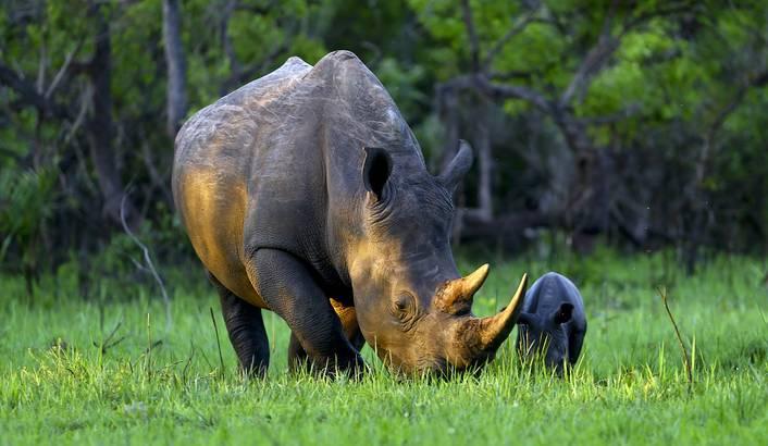 Rhino - Southern White
