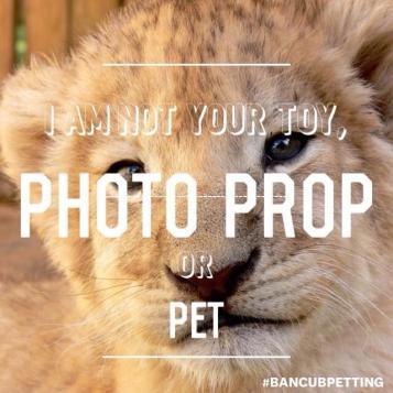 lion cub pet
