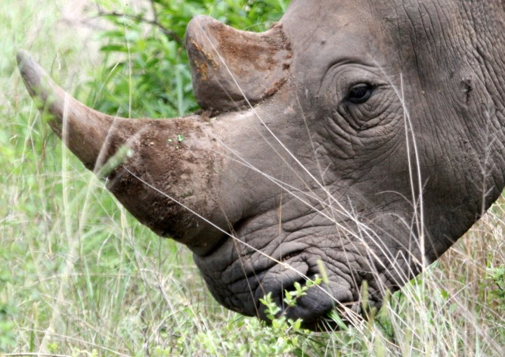 white-rhino-close-ups