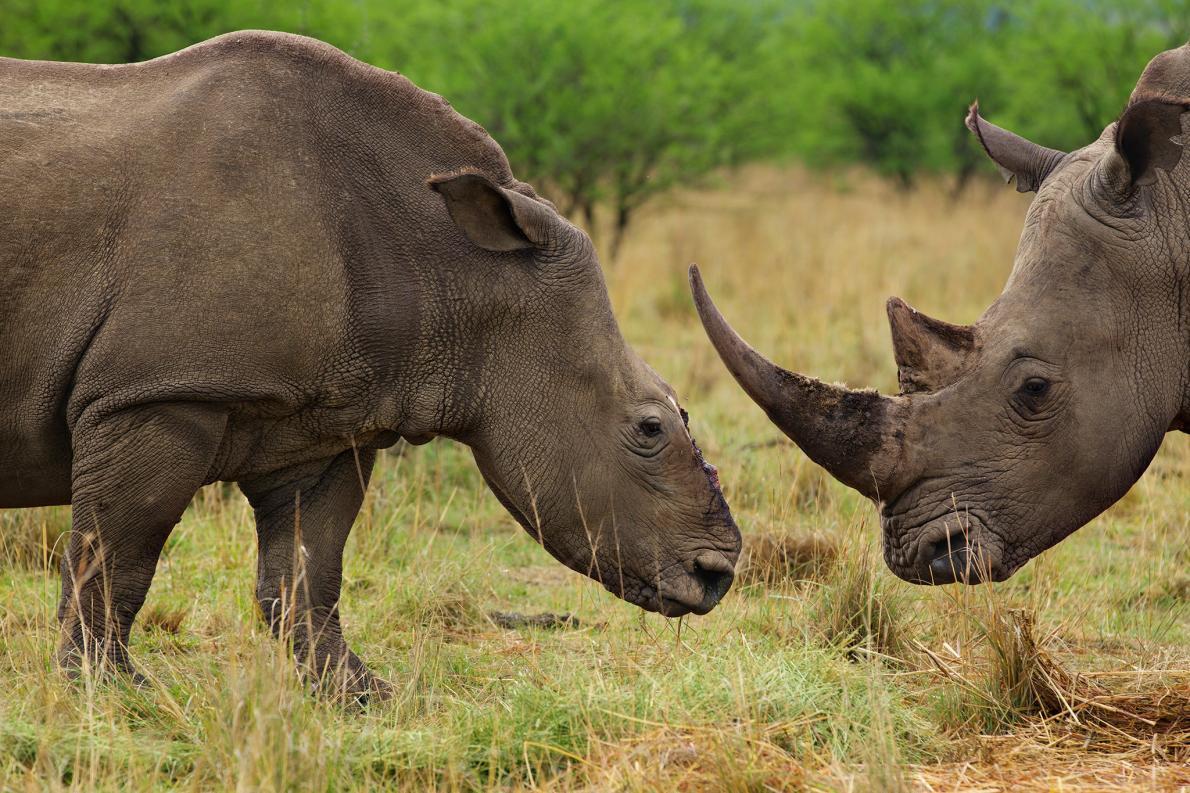 rhino-horn-trade-south-africa_adapt_1190_1
