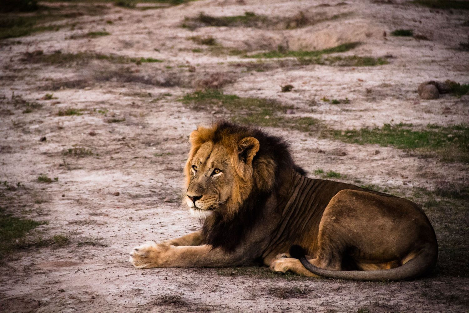 World Lion Day, the African Lion and CITES | IWB
