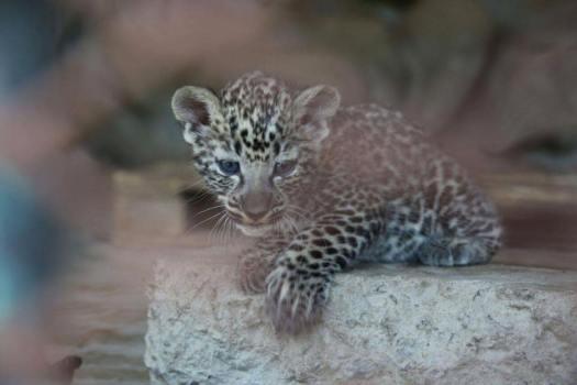 taiz-zoo-arabian-leopard-cub