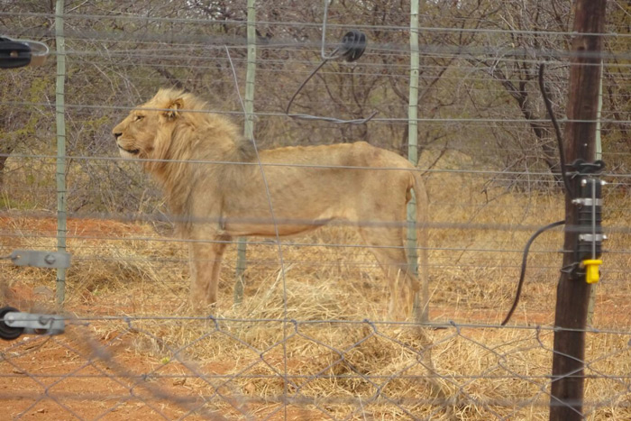 skeletal-lion-alldays_3
