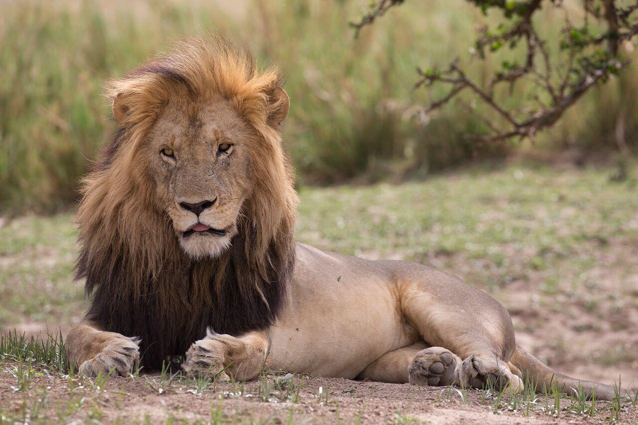 Lion-Mara_Kenya