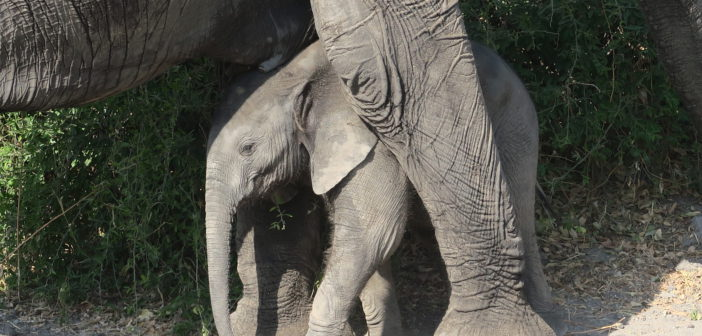 Baby Elephant_IMG_0723-702x336