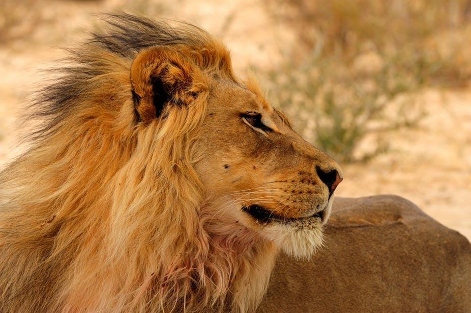 Lion_The mane attarction_Shutterstock