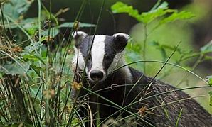 Badger_The Guardian_2
