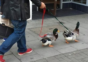 duck_walking