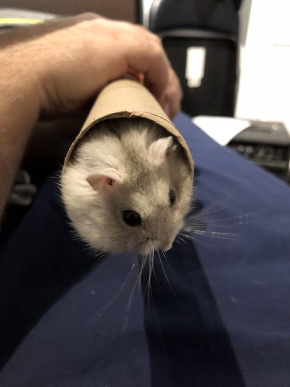 Cute little hamster fluff ball / pom-pom enjoying her simple tunnel!