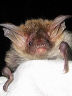 Bechsteins Bat, an Island speciality © CP