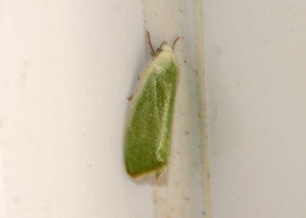 Cream-bordered Green Pea Moth © GTa