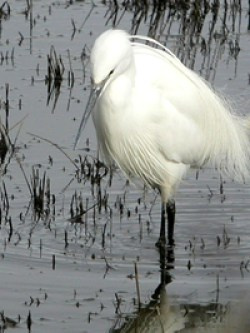 Little Egret in a lagoon of the western Yar © KM