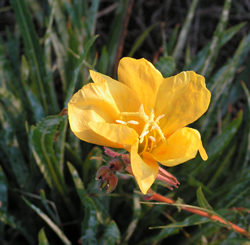 Fragrant Evening Primrose(Oenothera stricta), St Helen's Duver. The genus is genetically very complex and readily forms hybrid swarms. © GT