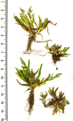 Scan of Poa infirma, variants with pale & dark lemmas © GT