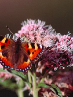 Small Tortoiseshell Butterfly (Aglais urticae) on Hemp Agrimony (Eupatorium cannabinum) © MC