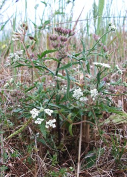 Spreading Hedge-parsley (Torilis arvensis ssp arvensis) rediscovered on the Island in 2008, after not having been seen here for exactly 50 years. A small and fragile population of this rare arable species.© GT