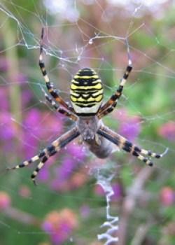 Wasp Spider © CP