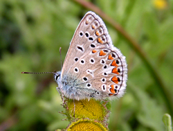 Common Blue © IF