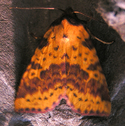 Pink-barred Sallow © IF