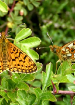 Small pearl bordered Fritillary © IF