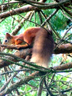 Red Squirrel at Freshwater © RG
