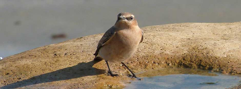 Wheatear, Bembridge (MC)