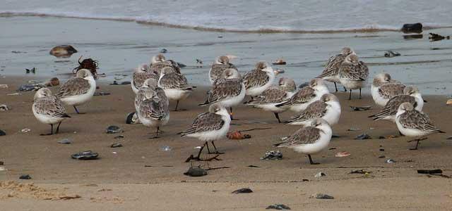 Sanderlings, Ryde