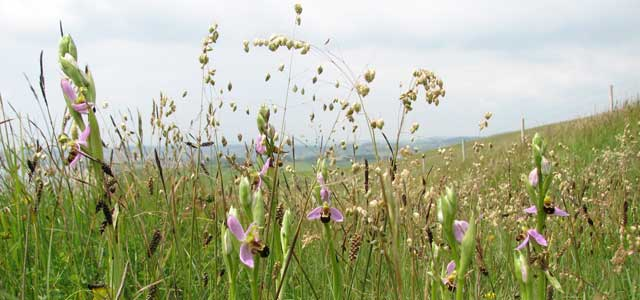 Bee orchids, Sandown Bay