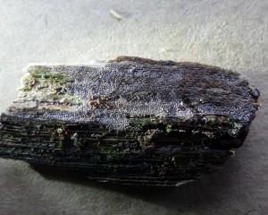 Mollisia poss, Firestone Copse.P1060676 (1024x820)