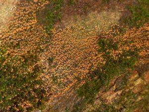 nectria-cinnabarina-conidial-east-knighton-wood-p1100781-800x600