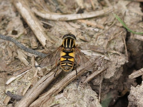 A Hoverfly (Helophilus pendulus) by Iain Outlaw