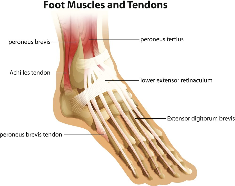 medium resolution of achilles tendonitis anatomy