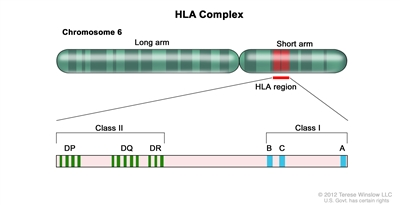 Human lymphocyte antigen (HLA) complex; drawing shows the long and short arms of human chromosome 6 with amplification of the HLA region, including the class I A, B, and C alleles, and the class II DP, DQ, and DR alleles.