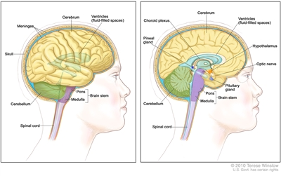 Anatomy of the brain; two-panel drawing showing the cerebrum, ventricles (fluid-filled spaces), cerebellum, brain stem (pons and medulla), and spinal cord. Also shown are the meninges and skull (left panel) and the choroid plexus, hypothalamus, pineal gland, pituitary gland, and optic nerve (right panel).