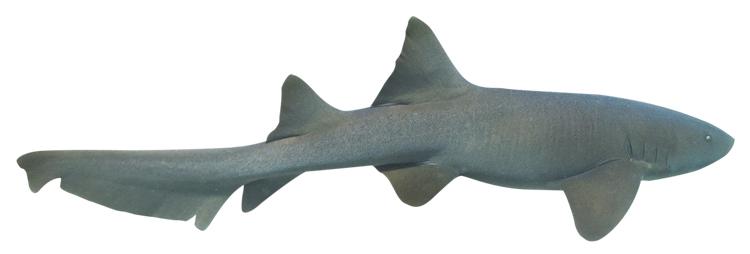 tiburon-gata