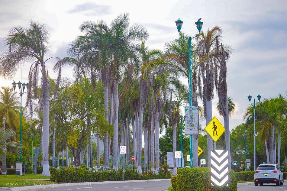 mueren-palmeras-ixtapa-.jpg