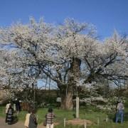 お達磨の桜 -2009年-