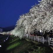 山形市、馬見ヶ崎川の桜並木 ー 2012年