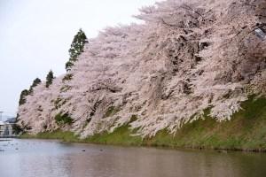 霞城公園の桜-2016年:霞城公園西側の桜