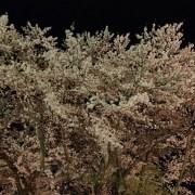 お達磨の桜-夜桜 2017年(その11)