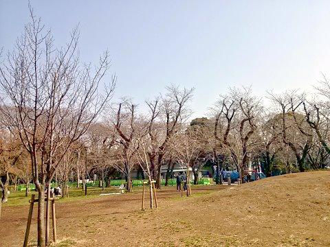 飛鳥山公演の桜
