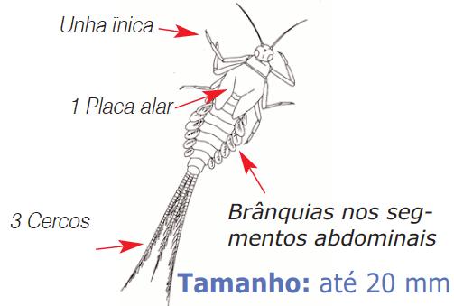 larva efémera