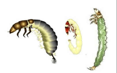 larvas frigânios sem casulo