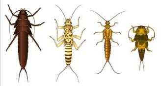 larvas moscas das pedras 1